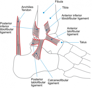 Ankle-Syndesmosis-Anatomy-300x285